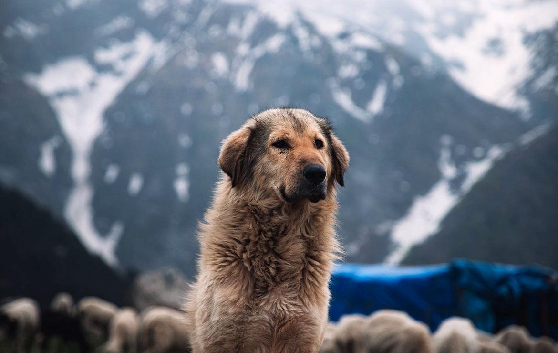 perro en El Valle de Mustang, Nepal
